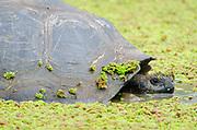 Galapagos Giant Tortoise (Detail)