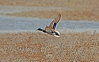 A Drake Mallard duck in flight across a northern Utah wetland marsh.