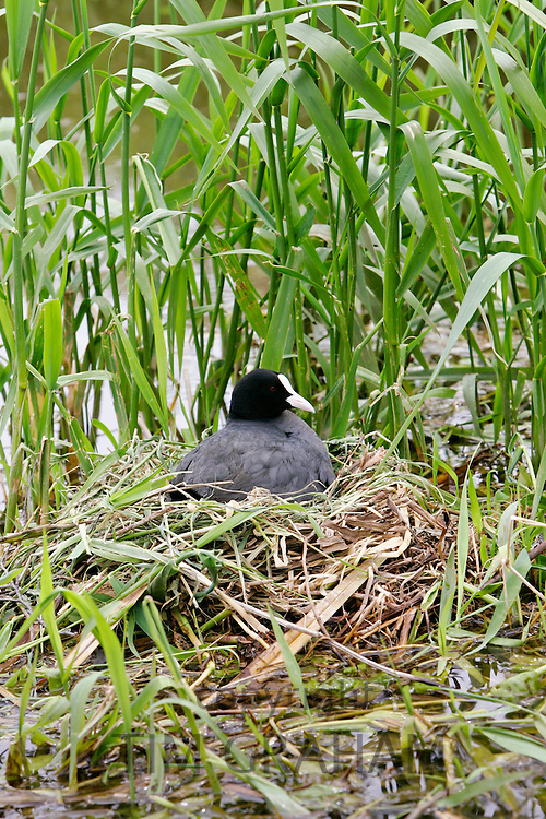 Coot on nest among reeds in The Cotswolds, Oxfordshire, England, United Kingdom