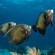 Three French Angelfish (Pomacanthus paru),swimming  above shallow Coral Reef, Belize Barrier reef, Stann Creek District, Belize