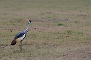 Kenya, Lake Nakuru National Park, Grey Crowned Crane (Balearica regulorum).