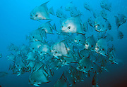 Atlantic Spadefish,Chaetodipterus faber, school over the Atlas shipwreck offshore Morehead City, North Carolina, United States.