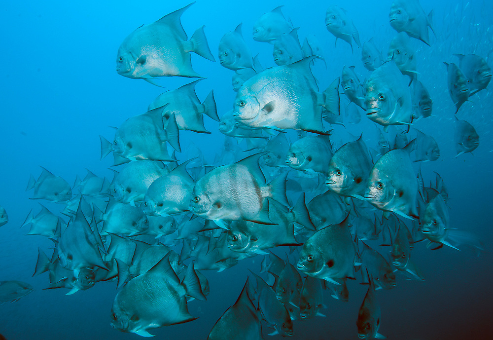 Atlantic Spadefish,Chaetodipterus faber, school over the Atlas shipwreck offshore Morehead City, North Carolina, United States.