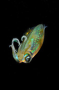 Reef squid (Sepioteuthis lessoniana), photographed in Lembeh Strait, Sulawesi, Indonesia.