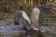 Great Blue Heron (ardea herodias) after diving headfirst into the water after a fish.<br /> - Savannah National Wildlife Refuge. Hardeeville, SC USA