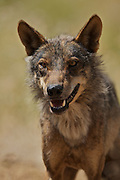 Iberian Wolf 3/4 length (c)