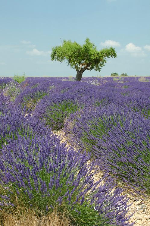 A lavender field on the Valensole Plain, Alpes-de-Haute Provence, Provence, France