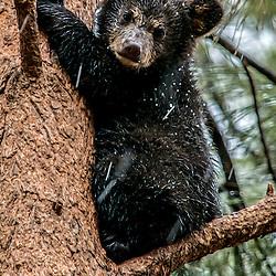 Bear cub in tree. Snowing in Bearizona - Williams, Arizona