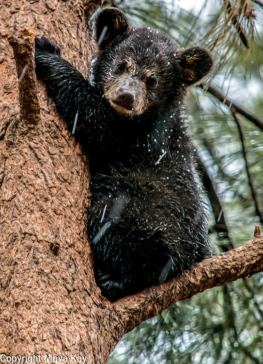Bear cub in tree. Snowing in Bearizona - Williams, Arizona