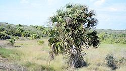 Palm Tree, Anastasia Island, Florida