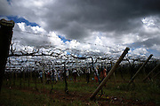 Projeto de irrigação de Pirapora, Minas Gerais. Trabalhadores preparam parreira para produção de uva..Project of irrigation of Pirapora, Minas Gerais. Workers prepare grapevine for grape production.