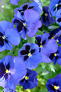 BLUE PANSY