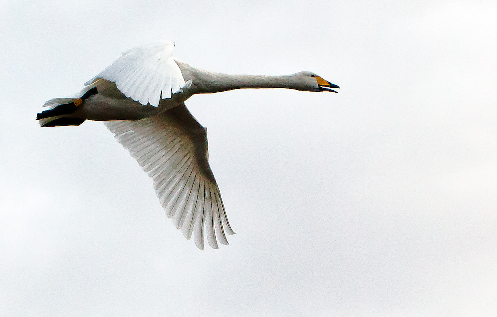 A fantastci side view of a swan during flight