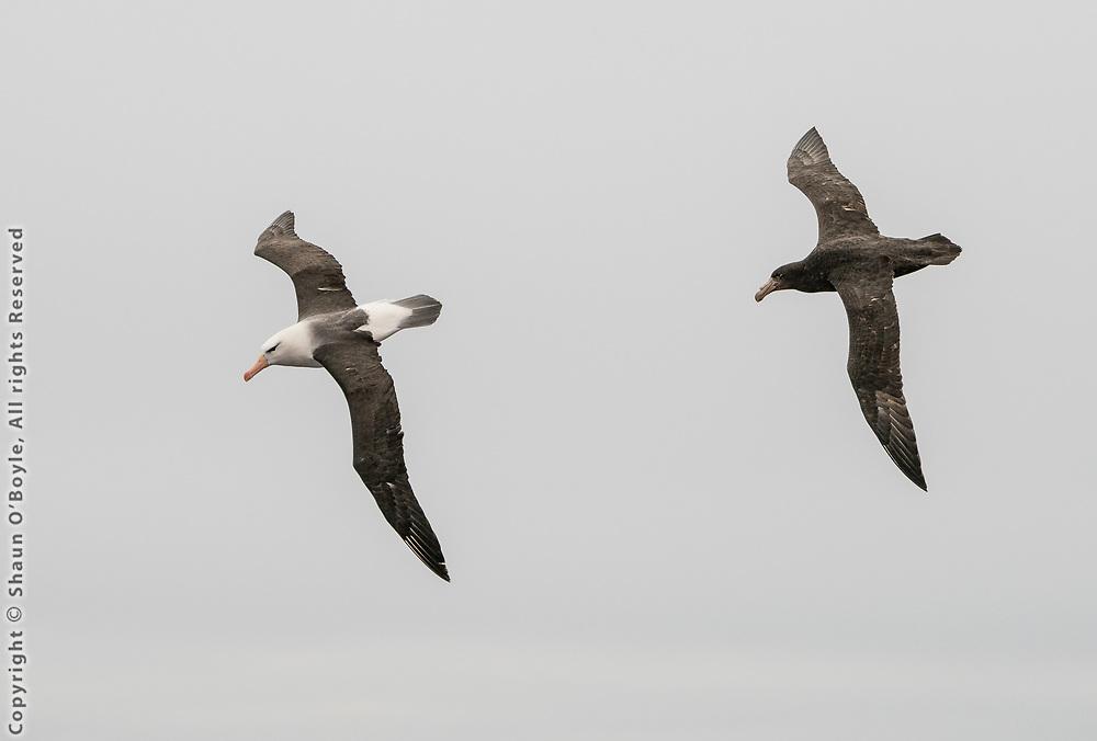 Albatross and Petrel