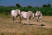 Camargue horses in the marsh region of Provence, South of France<br /> © HorseSource/Peter Llewellyn   Photo: Peter Llewellyn