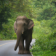 Endangered wild Asian or Asiatic (Elephas maximus) Elephant in Khao Yai National Park, Thailand. The elephants are seen regulary on the roads that transect  the park posing a serious threat to both the elephants and car drivers.