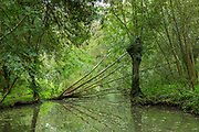 Fallen tree along Marais Poitrevin canal and marshland region a Grand Site de France