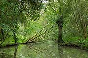 Fallen tree along Marais Poitrevin canal and marshland region a Grand Site de France