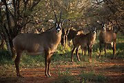 Roan<br /> Exotic Game Breeders / Eden Farm<br /> Limpopo Province<br /> South Africa