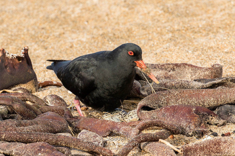 A variable oystercatcher and its eggs nestled amongst dry kelp on the beach, Catlins, South Island, New Zealand