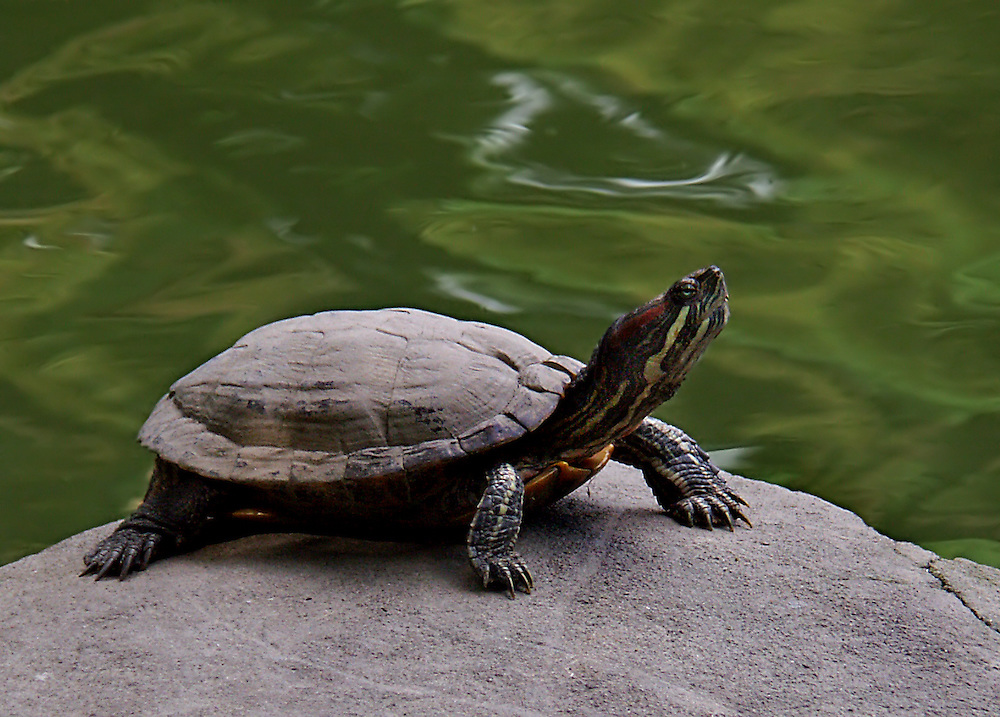Turtle getting some sun at the Japanese Gardens.