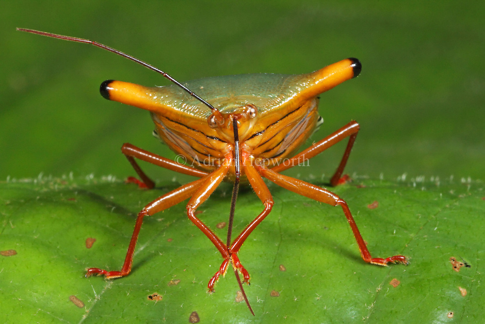 Stink Bug (Edessa sp.) cleaning antenna. Rainforest, La Selva Biological Station, Costa Rica. <br />