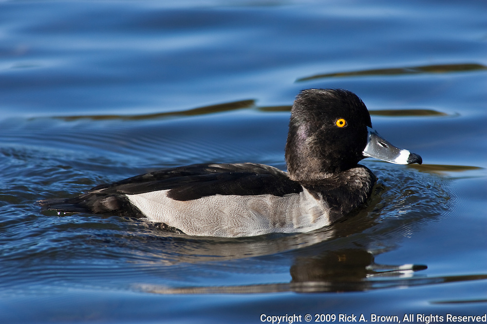 A drake Ring-necked Duck (Aythya collaris )