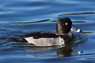 A drake Ring-necked Duck (Aythya collaris )