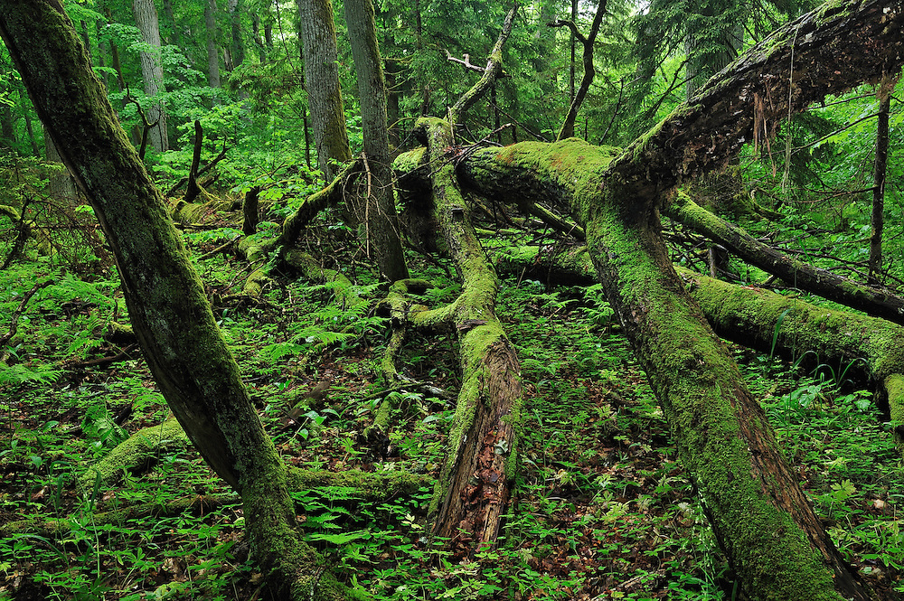Forest. Moricsala Strict Nature Reserve, Moricsala Island, Lake Usma, Latvia