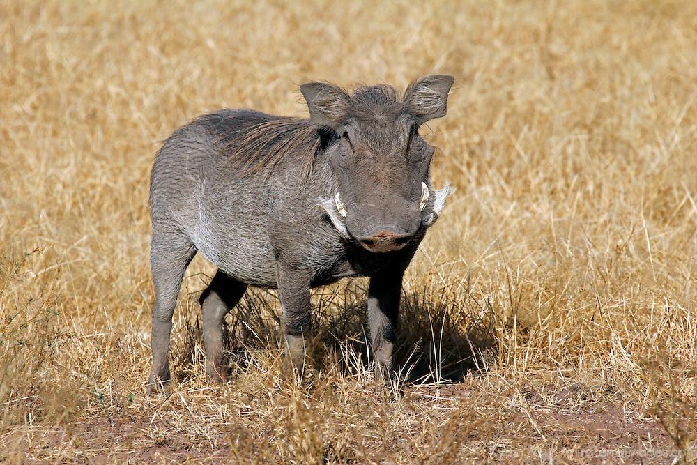 Africa, Kenya, Amboseli. Central African Warthog.