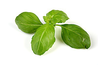 Studio shot of fresh basil