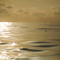 A lone bird skims across the calm flat dawn ocean due west of the Azores in the dawn light
