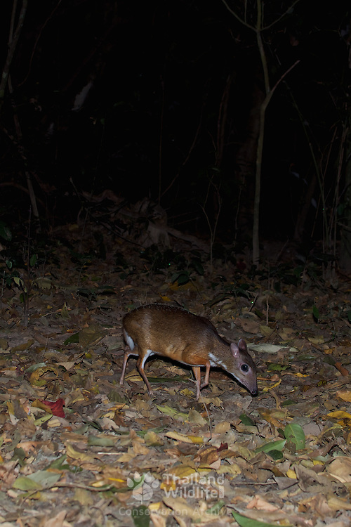 The lesser mouse-deer or kanchil (Tragulus kanchil), also known as the lesser Malay chevrotain, is a species of even-toed ungulate in the Tragulidae family.