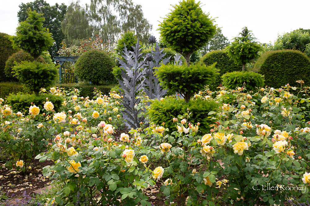 Rosa 'Graham Thomas', yellow shrub roses around a metal sculpture and Yew topiary in the Laskett Gardens, Much Birch, Herefordshire, UK