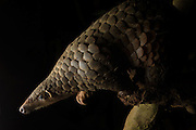 Sunda pangolin <br /> Manis javanica<br /> Adult rescued and rehabilitated, awaiting release<br /> Carnivore and Pangolin Conservation Program, Cuc Phuong National Park, Vietnam<br /> *Captive - rescued from poachers