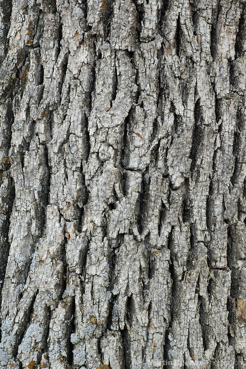 Bark pattern of Oregon white oak (Quercus garryana)