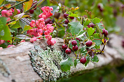Hawthorn and spindle berries. Crataegus monogyna and Euonymus europaeus