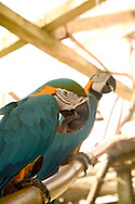 Macaws at the Caribbee Inn, Carriacou, Grenada 4/05
