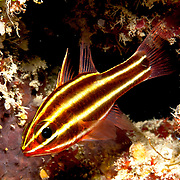 Blackstripe Cardinalfish inhabit reefs lurking under ledges and in caves. Picture taken Fiji.