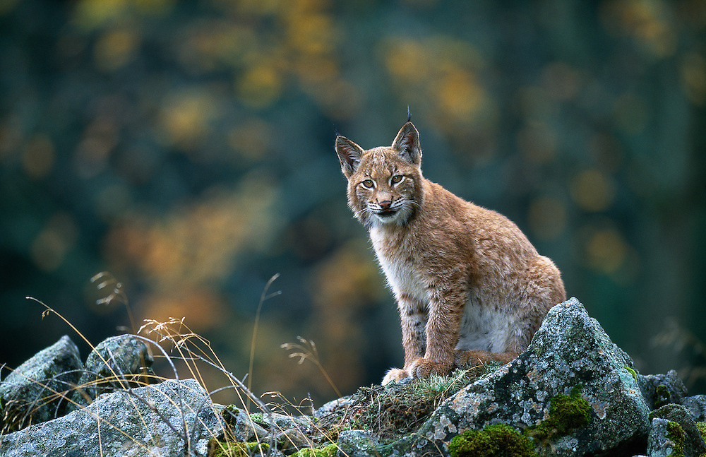 Young European lynx sitting on rocks at the edge of a broad leaved forest