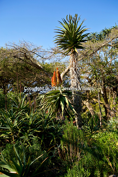 Winter-flowering Aloe at Kirstenbosch Botanical Garden.<br />