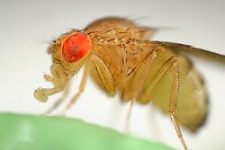 Wild Fruit Fly (Drosophila melanogaster)   Um die Taufliege (Drosophila melanogaster) zu sehen, muss man nicht nach Wien ins Labor fahren - hat man im Sommer eine überreife Banane oder Ähnliches in der Küche, ist sie, unter dem Namen Fruchtfliege bekannt, stets zur Stelle, um Nahrhaftes mit ihrem ausklappbaren Leckrüssel aufzunehmen. Aber wer würde, während er fluchend die Plage bekämpft, eine solche Schönheit und Perfektion im Detail vermuten... wild lebendes Exemplar (keine Laborfliege)