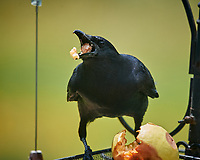 American Crow. Image taken with a Nikon D5 camera and 600 mm f/4 VR lens.