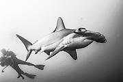 A Scalloped Hammerhead Shark, Sphyrna lewini, swims offshore Jupiter, FL, United States. IUCN Red List.