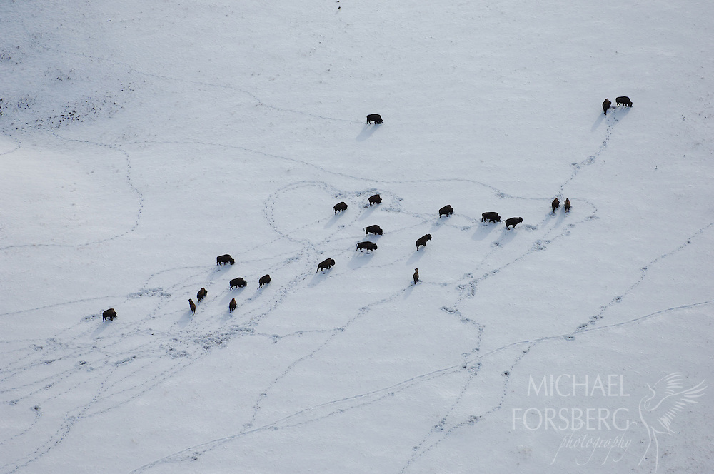 Bison leave trails in the snow as they graze up a hillside.  Wind Cave National Park, South Dakota.