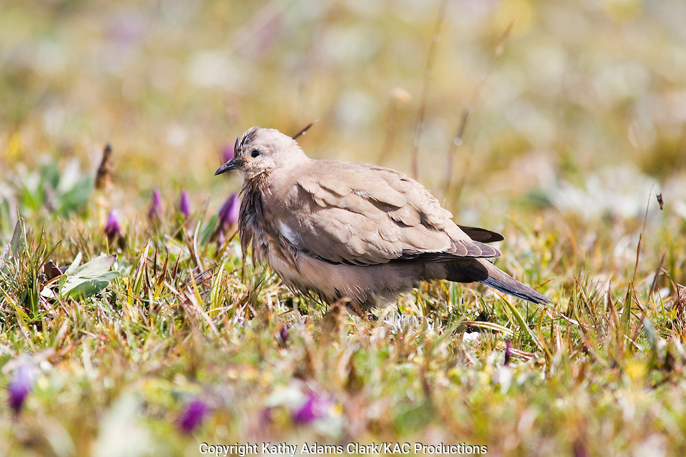 Black-winged ground-dove standing on the paramo at the Antisana Reserve, eastern Andes, Ecuador.