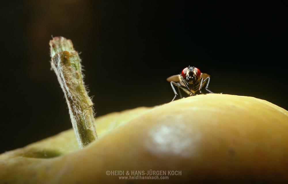 Deu, Deutschland: Stubenfliege (Musca domestica), sitzt auf einem Apfel, Cuxhaven, Niedersachsen | DEU, Germany: Housefly (Musca domestica), sitting on an apple, Cuxhaven, Lower Saxony |