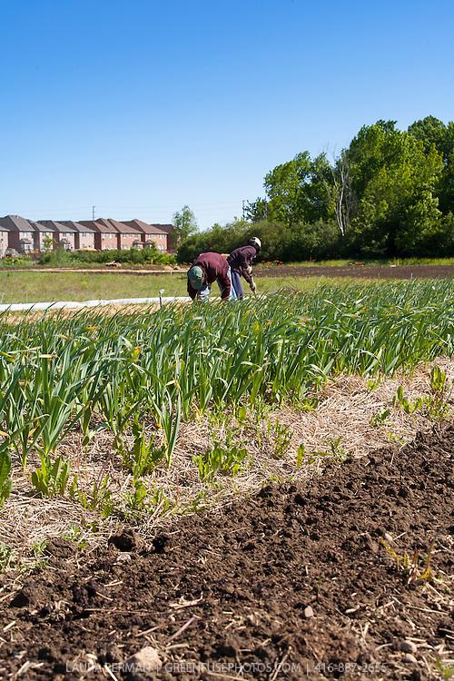Farm workers weeding garlic on a suburban farm.