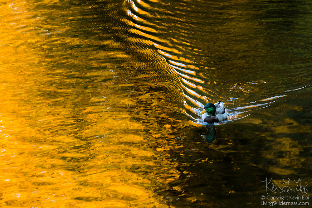 A mallard duck (Anas platyrhynchos) drake swims on the Sammamish River near Bothell, Washington, as it reflects the fall colors from the trees lining its banks.