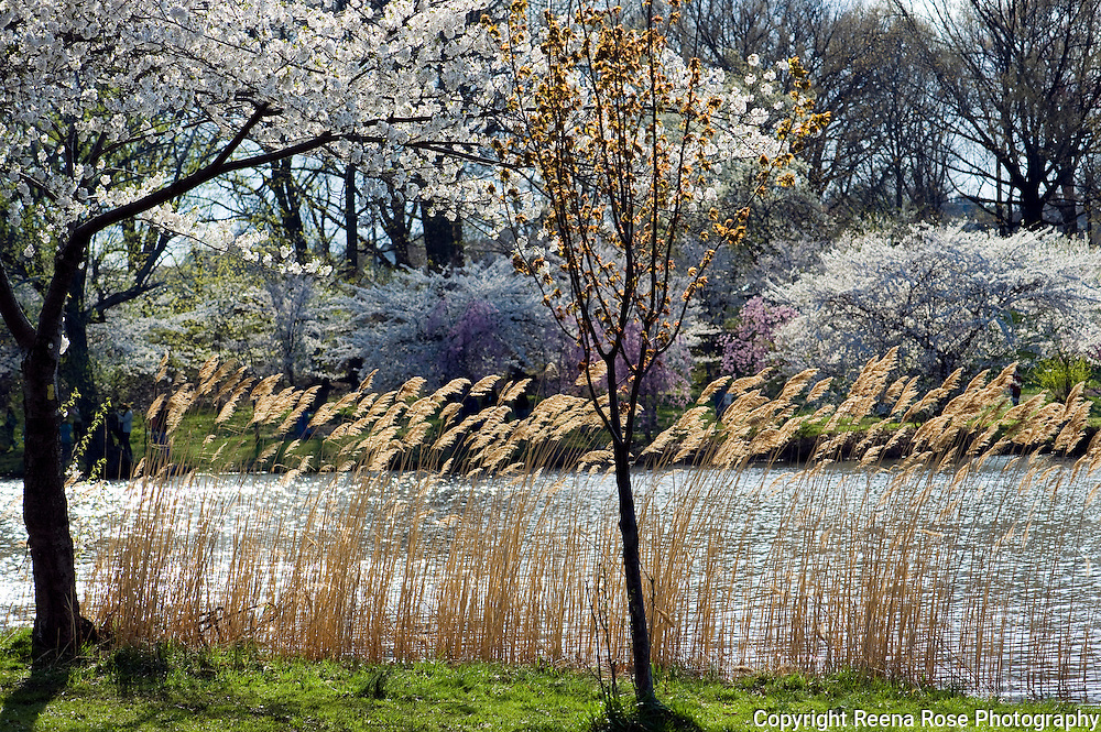 Cherry Blossoms,<br /> Branch Brook Park,<br /> Newark, NJ